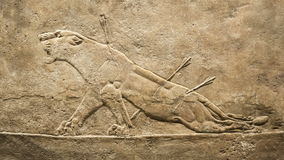 Dyeing lion. Hunting relief from Palace of Assurbanipal in Nineveh, Assyria stock video footage