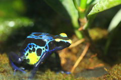 Dyeing poison dart frog Royalty Free Stock Photography