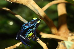 Dyeing poison dart frog Royalty Free Stock Image