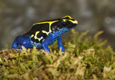 Dyeing poison dart frog (Dendrobates tinctorius). stock photos