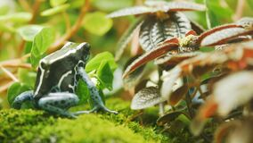 A dyeing poison frog turns away from the camera