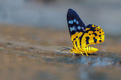 Dyephania-militaria Motte stockbild