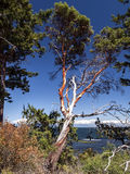 Dying Arbutus Tree Royalty Free Stock Photos
