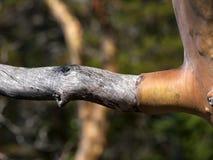 Dying Arbutus Tree Stock Image
