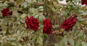 Dying beautiful dark red rose in the garden, selective focus, vintage color, dying plant in autumn, sad fall mood. Set