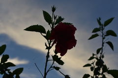 Dying beauty. Flower against evening sky Royalty Free Stock Image