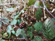 Dying Blackberries stock photos