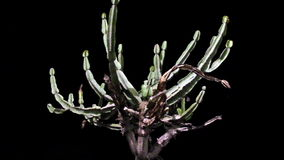 An almost dying cactus green plant herb Royalty Free Stock Photos