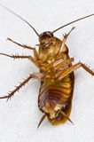 Dying cockroach Stock Image