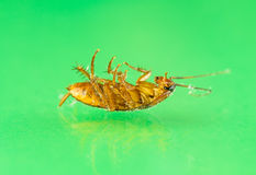 Dying cockroach close up Stock Image