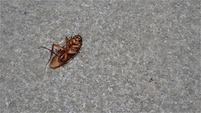 Dying cockroach. Eaten by ants stock video footage