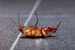 A dying cockroach with her egg at the end of her abdomen stock photo