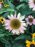 Dying coneflowers cling to life Stock Photo
