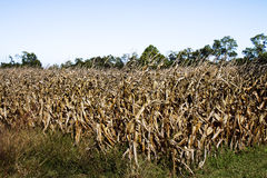 Dying Cornfield Royalty Free Stock Photos