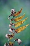 Dying dancing bracken fern Royalty Free Stock Photos