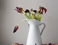 Dying dark red tulips in white jug close up Royalty Free Stock Photography