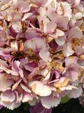 Dying flowers of the Hydrangea. Stock Photos