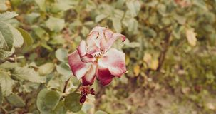 Dying flowers of rose in autumn garden toned stock footage