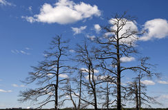 Dying forest. Dead trees against a blue sky stock images