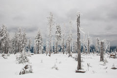 Dying forest in winter. Partly dead spruce forest because of the pollution Stock Image