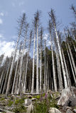 Dying forests. On a hill in germany Stock Photography