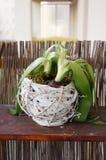 Dying hyacinth Royalty Free Stock Photo