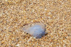 Dying jellyfish thrown on the sandy shore of the sea. jellyfish by the sea close-up