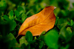 A Dying leaf Stock Images