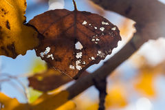 Dying leaf in fall Royalty Free Stock Photography