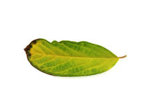 Dying leaf on a white background Royalty Free Stock Photos