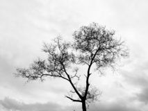 Dying leafless tree with the cloudy gray sky. Black and white photo of a dying leafless tree with the cloudy gray sky royalty free stock photography