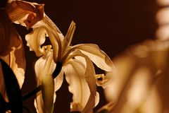 Dying lily in morning sunshine royalty free stock photo