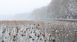 Dying lotuses in the West Lake(xihu) in Hangzhou of China in winter after the snow Stock Photo