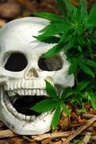 Dying for Marijuana. Skull with a marijuana plant growing besides it Royalty Free Stock Photography
