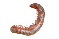 A dying millipede on white background Stock Images