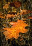 Dying orange leaf in autumn Stock Photos
