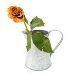 Dying orange rose stem in a metal pitcher Stock Photo