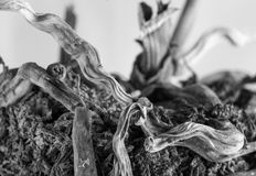 Dying orchid black and white. Black and white photo of dying orchid plant Stock Image