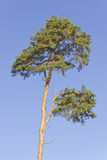 Dying pine tree Stock Photo