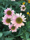 Dying pink coneflowers cling to life Royalty Free Stock Image
