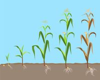 Dying plant of sweet corn from small sprout till dried plant, vector illustration