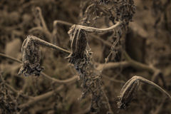 Dying plants stock photography
