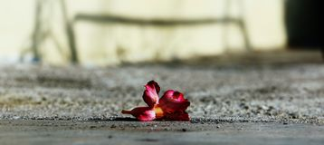 Dying red flower Stock Photography