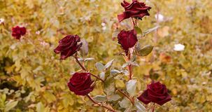 Dying red roses in rosegarden in autumn stock video footage