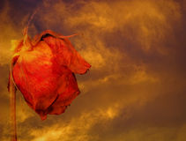 Dying rose against stormy clouds. At sunset Royalty Free Stock Photography