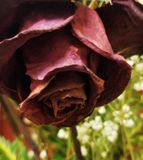 Dying rose. A rose dying in glass jar with the others Royalty Free Stock Images