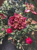 Dying Rose. Roses dying; in background are fresh roses Royalty Free Stock Images