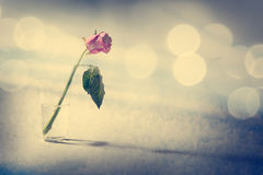 Dying Rose on the Snow Background Stock Image