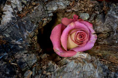 Dying Rose in Tree Stump Royalty Free Stock Image