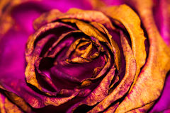 A Dying Rose. A rose that was decaying and turned from red to a beautiful purple pink and gold. It almost looks gilded royalty free stock photos